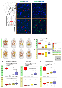 Bath salt drug MDPV increases glial presence and affects functional connectivity